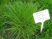 Prairie Dropseed Sporobolus in Irvington Raingarden